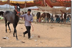 Marché-chameaux-Pushkar-(11)